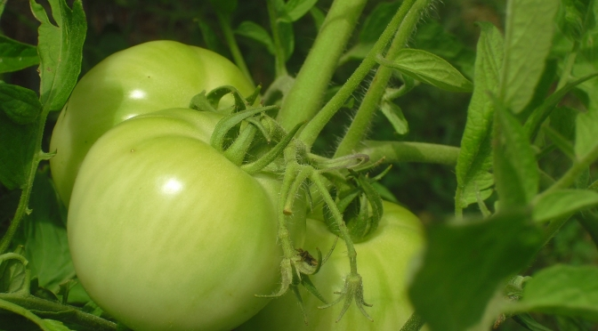 Fried Green Tomatoes?   How About a Baked Recipe to Love?