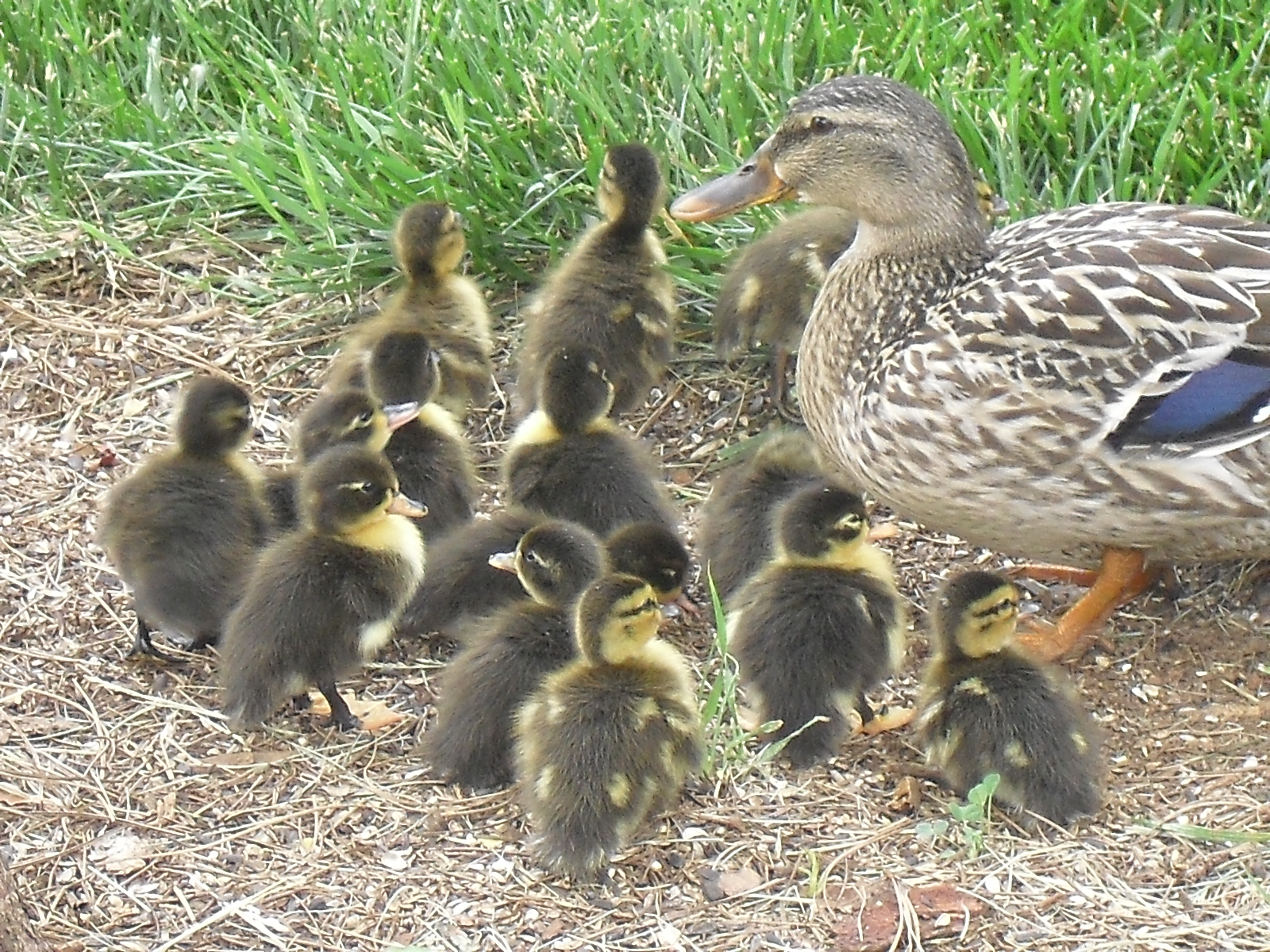 yellow baby ducks walking - photo #46