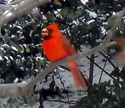 RedBirds, Southern Snow and Lebanese Porkchops